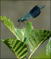 DAMSELFLY CALOPTERIX VIRGO - BEAUTIFUL DEMOISELLE (2)